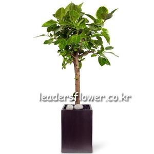 뱅갈고무나무8호